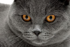 Portrait of a gray cat with yellow eyes. Royalty Free Stock Photo
