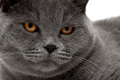 Portrait of a gray cat with yellow eyes. Stock Images
