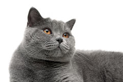 Portrait of a gray cat with yellow eyes on a white background Royalty Free Stock Photo