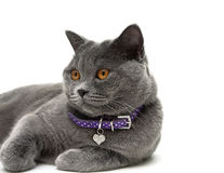 Portrait of a gray cat with yellow eyes. white background. Royalty Free Stock Photography
