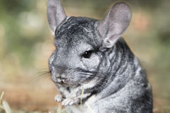 Portrait of gray chinchilla Stock Images