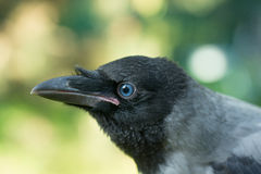 Portrait of a gray crow. Stock Image