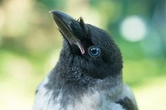 Portrait of a gray crow. Stock Photo