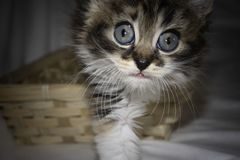 Portrait of a gray cute kitten with huge blue eyes stock images