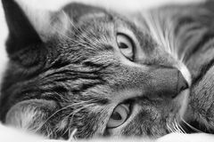 A portrait of a gray domestic cat. Black and white image Stock Image