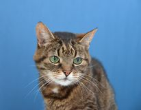 Portrait of a gray  domestic cat. With a blue background Stock Photo