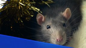 Domestic rat is sniffing. Portrait of gray domestic rat face sitting in a box and sniffing stock footage