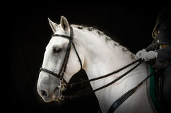 Portrait of gray dressage horse on black Royalty Free Stock Images