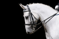 A portrait of gray dressage horse isolated
