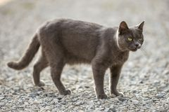 Portrait of gray grown adult big short-haired cat with green eyes standing outdoors on small pebbles looking straight towards. Camera on blurred light sunny stock photos