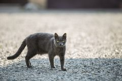 Portrait of gray grown adult big short-haired cat with green eyes standing outdoors on small pebbles looking straight towards. Camera on blurred light sunny royalty free stock image
