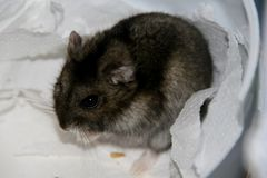 Portrait of gray hamster. Close up of the gray hamster in his den stock photography