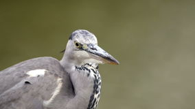 Portrait of Gray heron stock video