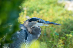 Portrait of a gray heron. Gray heron sitting in the bushes on the bank Royalty Free Stock Photography