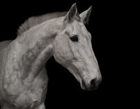 Portrait of gray horse Stock Images