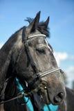 Portrait of gray horse Royalty Free Stock Photo