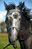 Portrait of gray horse Royalty Free Stock Photography