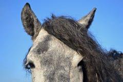 Portrait of gray horse breed transbaikalian. On behalf of the Tale. wild Horse the sky Stock Image