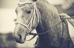 Portrait of a horse in a bridle. Portrait of a gray horse in a bridle Royalty Free Stock Photos