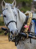 Portrait of a gray horse in harness. Royalty Free Stock Photo