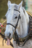 Portrait of a gray horse in harness showing tongue. Stock Photo