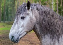 Portrait of a gray horse with an intelligent look with sharp ears and a long bang. In the background Stock Photography