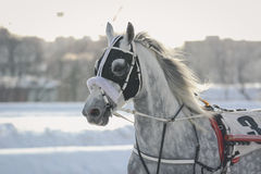 Portrait of a gray horse  Orlov trotter breed in motion  on racetrack Royalty Free Stock Photography
