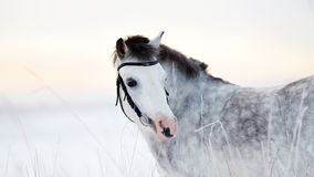 Portrait of a gray horse Stock Photos