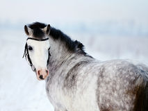 Portrait of a gray horse. Portrait of a gray pony in the field in the winter. The mare walks in the winter. Gray little horse. Stallion on walk Stock Photography