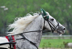 Portrait of a gray horse trotter breed in motion royalty free stock image