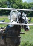 Portrait gray horse trotter breed and start-to machine royalty free stock photography