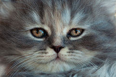 Portrait of a gray kitten. Portrait of a little gray kitten, close-up Stock Photography
