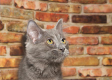 Portrait of Gray kitten looking up, brick wall background. Close up portrait of one gray kitten looking up to viewers right with light yellow green eyes, brick Stock Photo