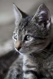 Portrait of gray kitten Stock Photography