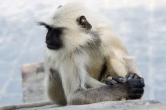 Portrait of Gray langur or Hanuman langur, Indian Subcontinent Royalty Free Stock Photography