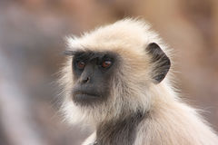 Portrait of Gray langur (Semnopithecus dussumieri), Ranthambore Royalty Free Stock Photos