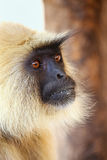 Portrait of gray langur sitting in  Amber Fort near Jaipur, Raja Stock Photos