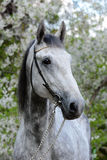 Portrait of a gray orlov trotter breed horse. Beautiful portrait of a gray stallion on the background of a flowering Royalty Free Stock Photo