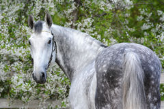 Portrait of a gray orlov trotter breed stallion. Beautiful portrait of a gray stallion on the background of a flowering Royalty Free Stock Images