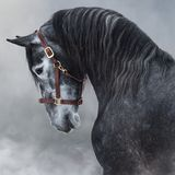 Portrait of gray Purebred Andalusian horse in smoke stock photo
