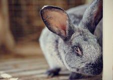 Portrait of a gray rabbit Stock Images