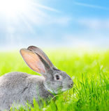 Portrait of gray rabbit Stock Photos