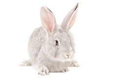 Portrait of a gray rabbit Stock Image