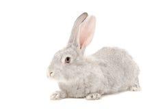 Portrait of a gray rabbit Stock Photos