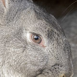 Portrait of gray rabbit Stock Image