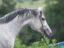 Portrait of gray races arabian horse Stock Photography