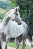 Portrait of gray racing  arabian horse Stock Images