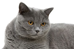 Portrait of a gray Scottish cat on a white background Stock Photos