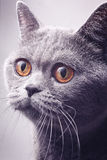Portrait of gray shorthair British cat Royalty Free Stock Photography