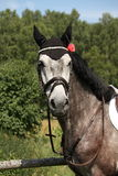 Portrait of gray sport horse Stock Images